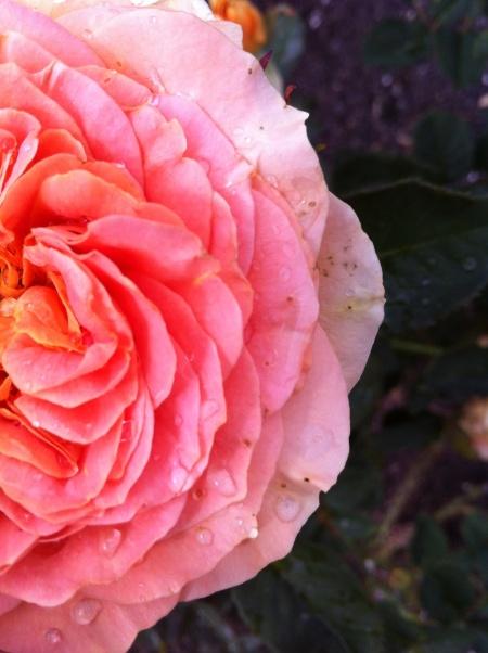 rose-garden-2